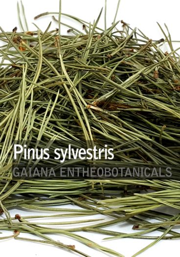 Pinus sylvestris -Pine Needles-