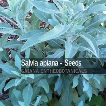 Salvia apiana -White Sage- Seeds