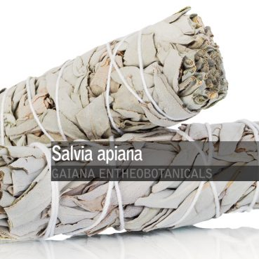 Salvia-apiana-White-Sage-Bundle